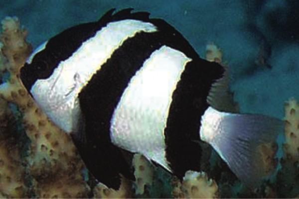 Dreibindenpreußenfisch