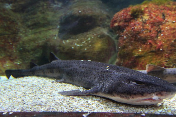 Großgefleckter Katzenhai