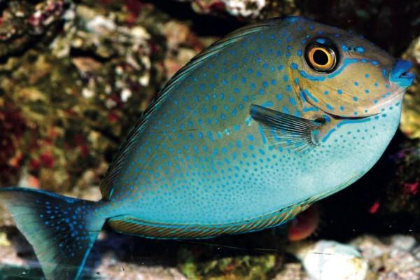 Masken-Nasendoktorfisch