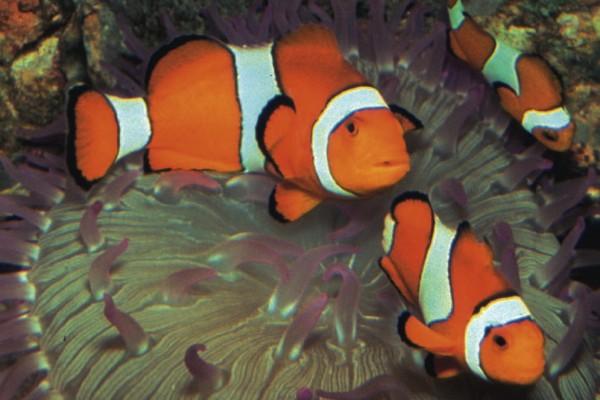 Orangeringel-Anemonenfi sch