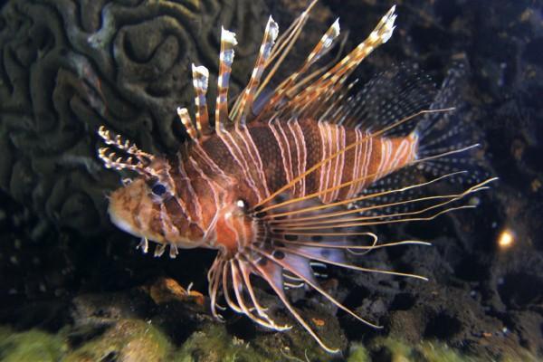 Zwergrotfeuerfisch