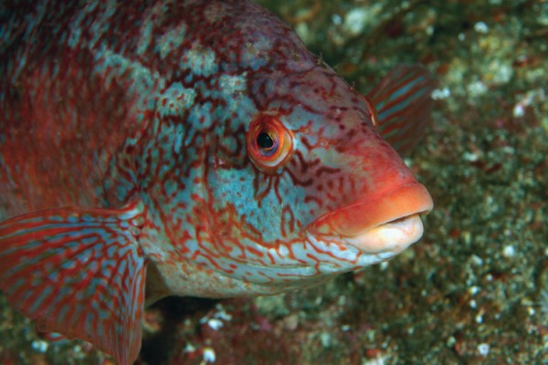 Gefleckter Lippfisch