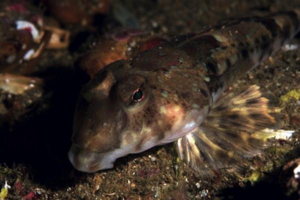Gestreifter Leierfisch