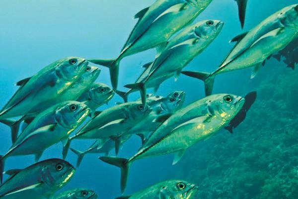 Großaugen-Makrele