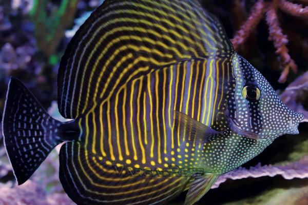 Segelflossendoktorfisch