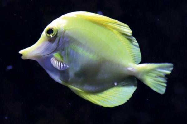 Zitronen-Segelflossen-Doktorfisch